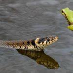 Почему змеи и лягушки больше не дружат